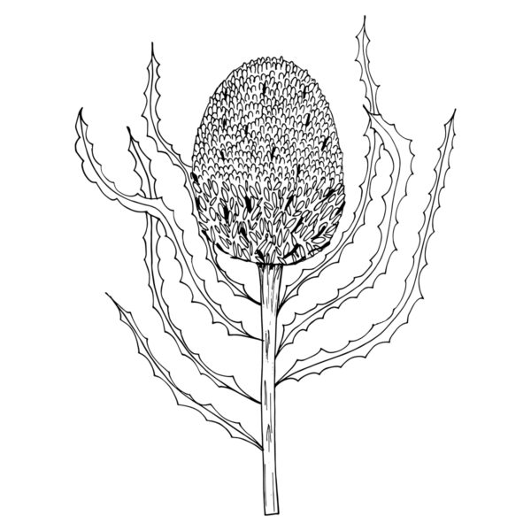 Moments by Charlie | Journey of Creative Pursuits by South Australian artist Charlie Albright. Banksia Burdettli Flower Modern Flower Line Art Drawing, Illustration.
